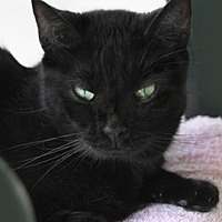 Domestic Shorthair Cat for adoption in North Fort Myers, Florida - Nani