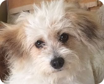 Havanese/Terrier (Unknown Type, Small) Mix Dog for adoption in Castro Valley, California - Lexi
