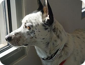 Cattle Dog Mix Dog for adoption in Farmington, New Mexico - Buddy