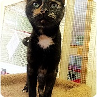 Domestic Shorthair Cat for adoption in Huntington, New York - Pumpkin