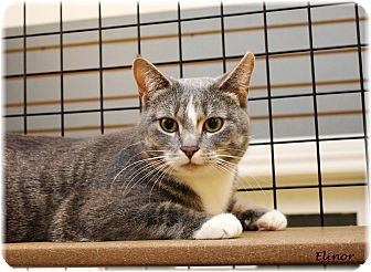 Domestic Shorthair Cat for adoption in Welland, Ontario - Elinor