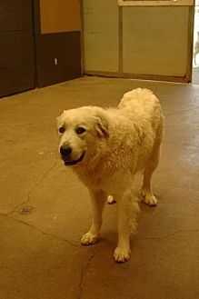 Great Pyrenees Dog for adoption in Pt. Richmond, California - SAVANNA