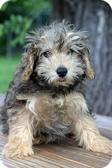 Bichon Frise/Yorkie, Yorkshire Terrier Mix Puppy for adoption in Waldorf, Maryland - Dylan