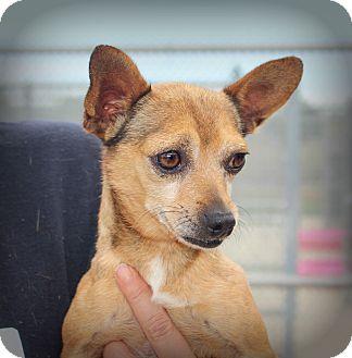 Chihuahua/Dachshund Mix Dog for adoption in Yuba City, California - Bart