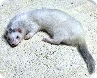 Ferret for adoption in Warwick, Rhode Island - Leo
