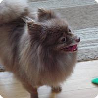 Adopt A Pet :: Gatsby - Mt Gretna, PA