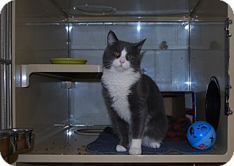 Domestic Shorthair Cat for adoption in New Castle, Pennsylvania - Shadow