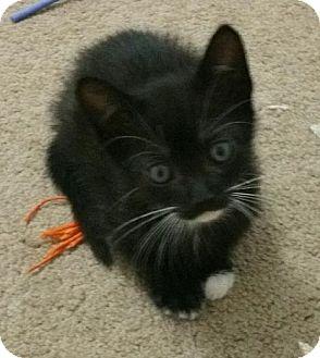 Domestic Shorthair Kitten for adoption in Yorba Linda, California - Kura