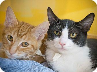 Domestic Shorthair Kitten for adoption in Los Angeles, California - Smirnoff