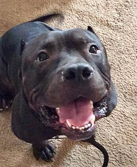 American Pit Bull Terrier Mix Dog for adoption in New Canaan, Connecticut - Achilles