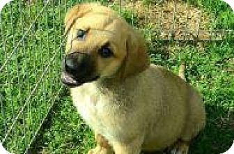 Shepherd (Unknown Type) Mix Puppy for adoption in Rexford, New York - Buckle