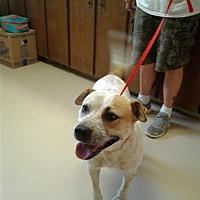 Akita/Bulldog Mix Dog for adoption in Ozark, Alabama - Shannon