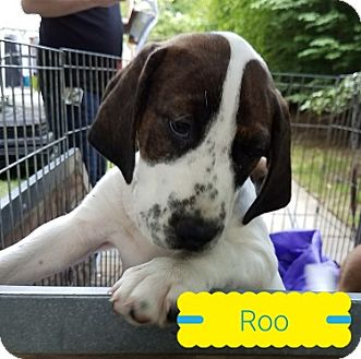 Boxer/Hound (Unknown Type) Mix Puppy for adoption in Toledo, Ohio - Roo