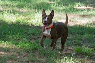 American Pit Bull Terrier Mix Dog for adoption in Blairsville, Georgia - HARMONY