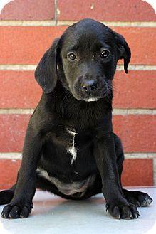 Pointer/Labrador Retriever Mix Puppy for adoption in Waldorf, Maryland - Lacie