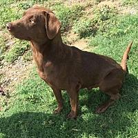 Adopt A Pet :: Charlie - McKinney, TX