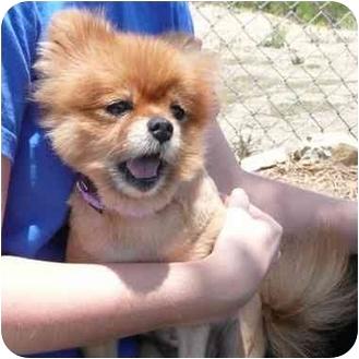 Pomeranian Dog for adoption in San Clemente, California - EMMA JEAN