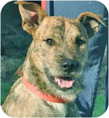 Terrier (Unknown Type, Medium) Mix Dog for adoption in Mt. Prospect, Illinois - Russell