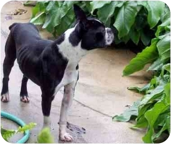 Boston Terrier Dog for adoption in Temecula, California - Snickerdoodle