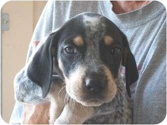 Bluetick Coonhound Mix Puppy for adoption in Derry, New Hampshire - Owen