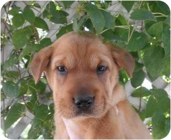 Shar Pei/Shepherd (Unknown Type) Mix Puppy for adoption in Westminster, Colorado - ROO