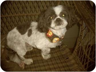 Shih Tzu Mix Dog for adoption in Salem, Oregon - Sammy