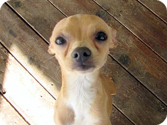 Italian Greyhound/Chihuahua Mix Puppy for adoption in Winnetka, California - HARRY