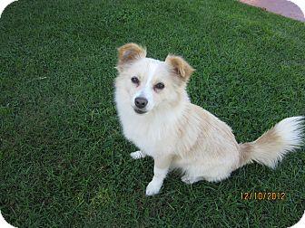 Pomeranian/Chihuahua Mix Dog for adoption in Culver City, California - Amanda