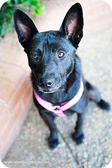 Basenji/Shepherd (Unknown Type) Mix Dog for adoption in Atlanta, Georgia - Asia