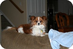 Papillon Mix Dog for adoption in Commerce City, Colorado - Maia