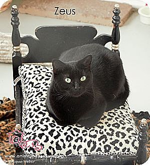 Domestic Shorthair Cat for adoption in St Louis, Missouri - Zeus