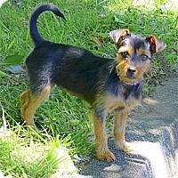 Adopt A Pet :: Cookie super pup - Sacramento, CA