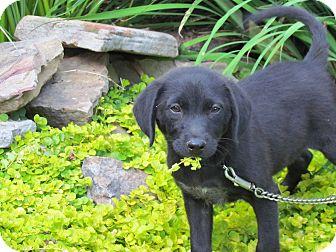Labrador Retriever Mix Puppy for adoption in Hartford, Connecticut - JENNY