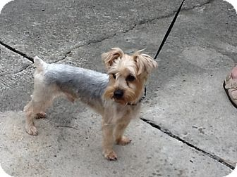 Yorkie, Yorkshire Terrier Dog for adoption in Conroe, Texas - Beau