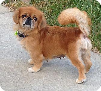 Pekingese Dog for adoption in Fairview Heights, Illinois - Honey
