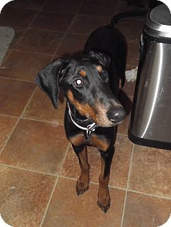 Doberman Pinscher Dog for adoption in Albuquerque, New Mexico - Archer (Adopt Pending)