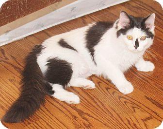 Domestic Longhair Kitten for adoption in Chapel Hill, North Carolina - Dublin