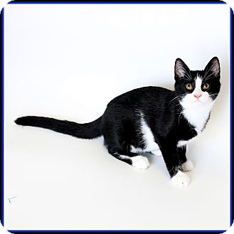 Domestic Shorthair Cat for adoption in Glendale, Arizona - King Tut