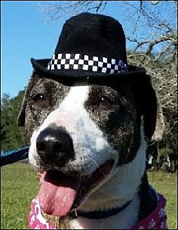 Collie/Terrier (Unknown Type, Medium) Mix Dog for adoption in Huntington, New York - Jodie - N