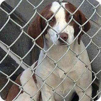 Beagle/Spaniel (Unknown Type) Mix Dog for adoption in Minneapolis, Minnesota - Honeybun