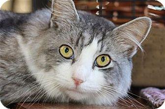 Domestic Mediumhair Cat for adoption in Lincoln, California - Silver