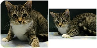 Domestic Shorthair Kitten for adoption in Forked River, New Jersey - Winnie