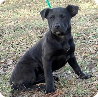 Labrador Retriever/Border Collie Mix Puppy for adoption in Waterbury, Connecticut - SABRINA/ADOPTED