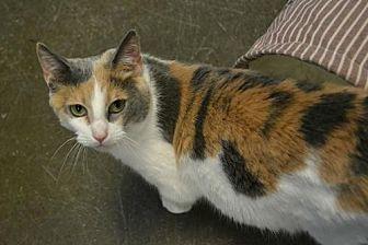 Calico Cat for adoption in Akron, Ohio - Naya *Special Adoption Fee