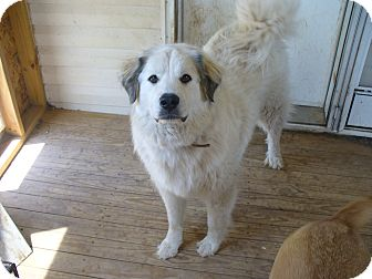 Great Pyrenees Dog for adoption in Manhattan, Kansas - Betty