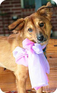 Pomeranian/Sheltie, Shetland Sheepdog Mix Dog for adoption in Santa Fe, Texas - Roxy-Foxy Girl---N