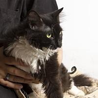Domestic Mediumhair/Domestic Shorthair Mix Cat for adoption in Santa Paula, California - Tuxie