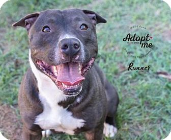 American Staffordshire Terrier/Pit Bull Terrier Mix Dog for adoption in Oglesby, Illinois - Runner