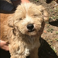 Cairn Terrier/Poodle (Miniature) Mix Dog for adoption in BONITA, California - Conchita