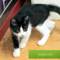 Adopt A Pet :: Spiderman - San Angelo, TX